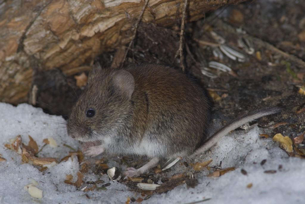 Metsämyyrä, Cletrinomus glareolus. Jyväskylän maalaiskunta. Mannisenmäki.