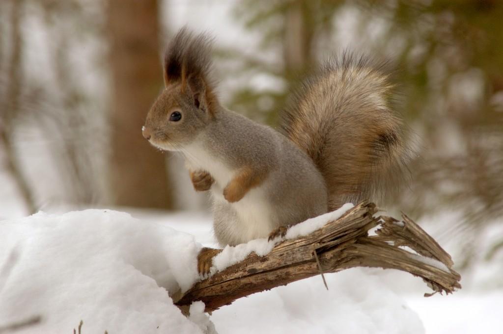 Oravan turkki on talvella harmaa ja tuuhea. Talvipesä on jossakin tiheän kuusen oksiston kätkössä. Kuva Hannu Eskonen.