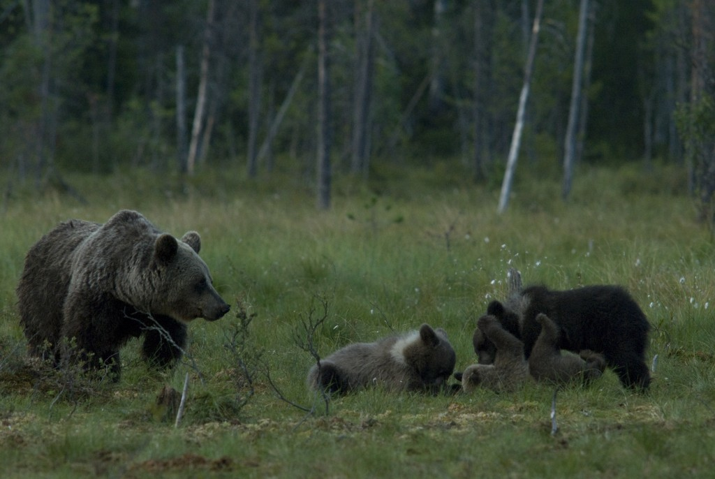 Vanha kansa uskoi, että Heikin päivänä 19.1. karhu kääntää kylkeä ja talven selkä taittuu. Oikeasti karhu kääntyilee talvipesässään jatkuvasti. Kuva Hannu Eskonen.