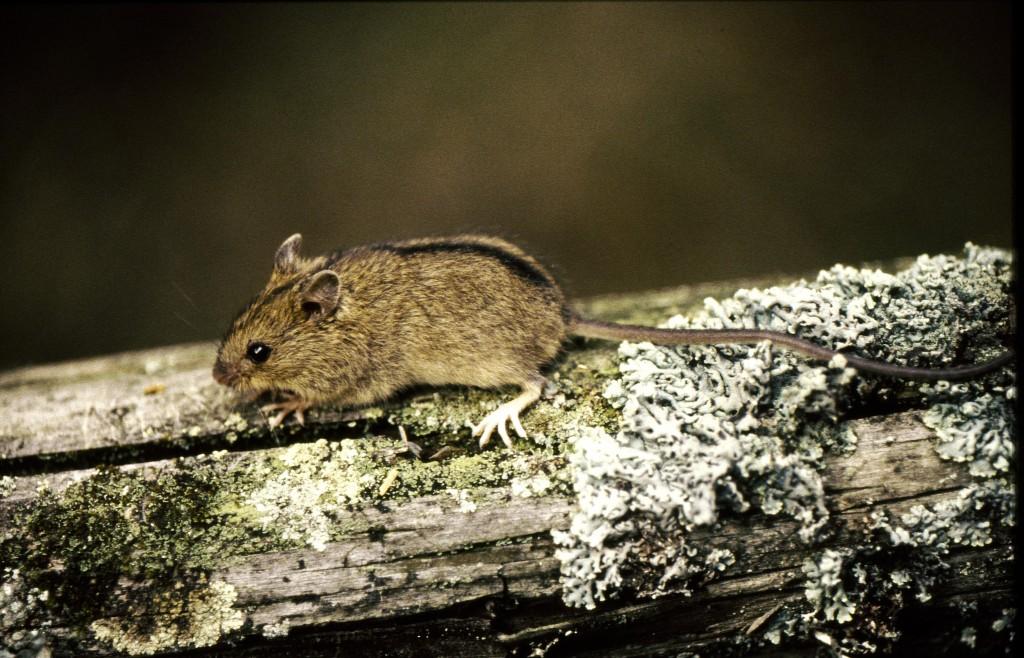 Koivuhiirellä on pitkä häntä. Talvihorrokseen mennessään hiiri kietoo häntänsä ympärilleen kuin pakettinarun ennen horrokseen vaipumista. Kuva Hannu Eskonen.