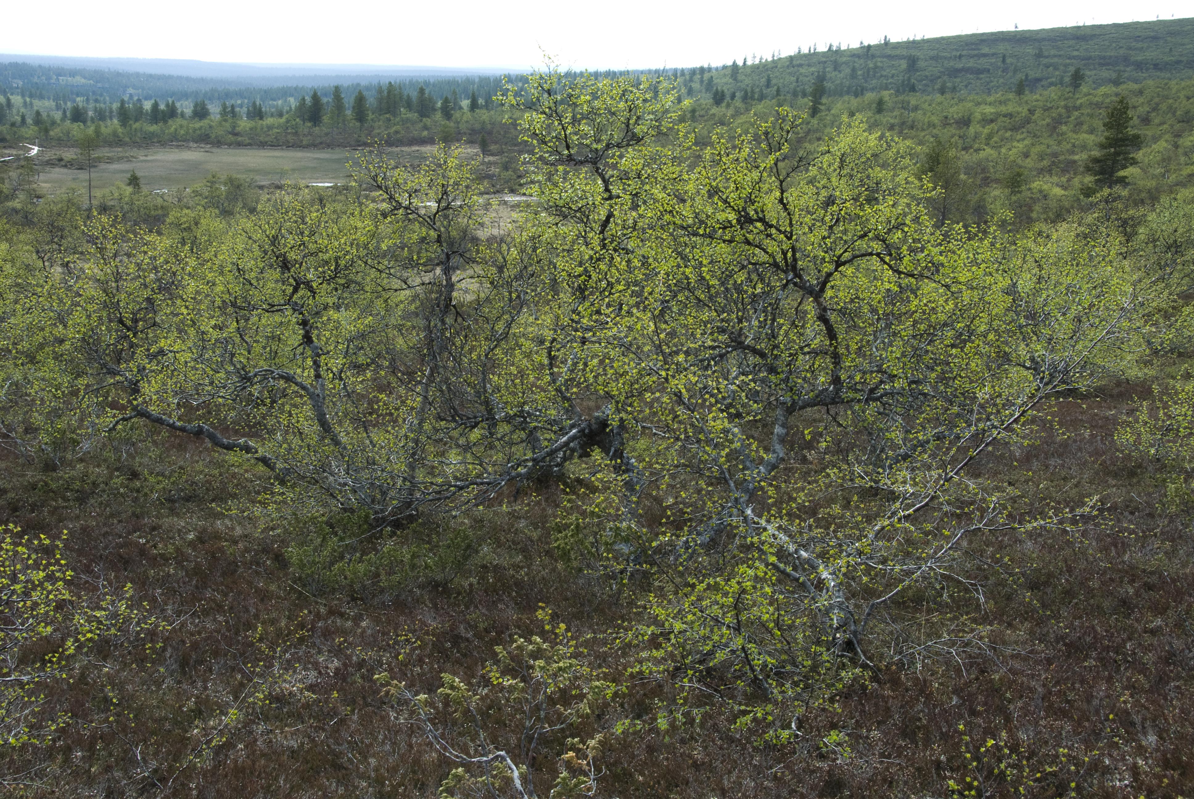 Kiilopäänkoivu on tunturikoivun maanmyötäisesti kasvava muunnos, jota löytyy vain Saariselän alueelta. Kuva Hannu Eskonen.