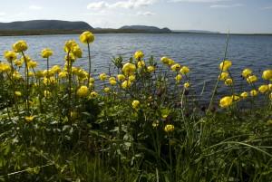 Kullero on kaunis puutarhakukka, joka on alkujaan lähtöisin Pohjoisen puron- ja jokivarsilta, järven rannoilta ja kosteilta niityiltä.
