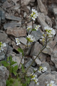 Tunturipitkäpalko on yleinen kasvi vain Enontekiön suurtuntureiden puronvarsilla ja kalliohyllyillä. Harvinaisena sitä tavataan myös etelämpänä Koillismaata myöten. Kuva Hannu Eskonen.