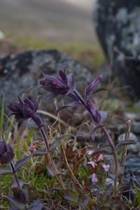 Punakko on kokonaan punavioletin värinen puoliloinen. Se varastaa osan ravinnostaan imujuuriensa avulla muilta kasveilta. Kuva Hannu Eskonen.