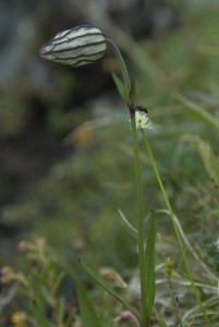 Pahta-ailakki on hellpo tunnistaa. Se kasvaa noin 20-30 sentin korkuiseksi ja sillä on omalaatuisen pullea vehriö. Varsinainen kukka on piilossa verholehtien sisällä. Kuva Hannu Eskonen.