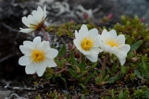 Lapinvuokko ei siedä hapanta maaperää. Tämän takia se on harvinainen tunturikasvi muualla kuin käsivarren suurtuntureilla ja dolomiittipahdoilla Kuusamossa. Kuva Hannu Eskonen.