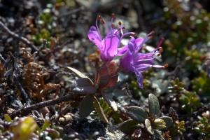 Lapinalppiruusu on rhododendroneiden lähisukulainen. Lapinalppiruusu kasvaa vain muutamalla tunturilla Kilpisjärvellä ja Utsjoella. Kuva Hannu Eskonen.