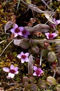 Sinirikon punavioletit kukat erottuvat helposti. Usein kasvi muodostaa mättäitä ja mattomaisia kasvustoja. Kuva Hannu Eskonen.