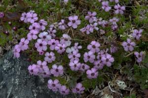 Kukkivan tunturikohokin havaitsee jo kaukaa. Sen patjamaiset kasvustot peittävät laajoja alueita ja värjäävät maan kauniin punaiseksi. Kuva Hannu Eskonen.