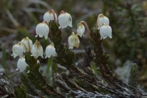 Liekovarpion löytääkseen pitää matkustaa Enontekiön käsivarren suurtuntureille. Kasvi levitttäytyy paikoin erittäin runsaana 700-1000 metrin korkeudessa. Kuva Hannu Eskonen.