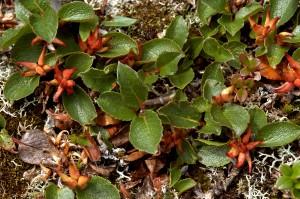 Vaivaispaju on puista pienin, totesi Carl von Linné aikanaan. Se kasvaa maanmyötäisenä, vain 1-5 cm korkeana kasvustona. Kuva Hannu Eskonen.