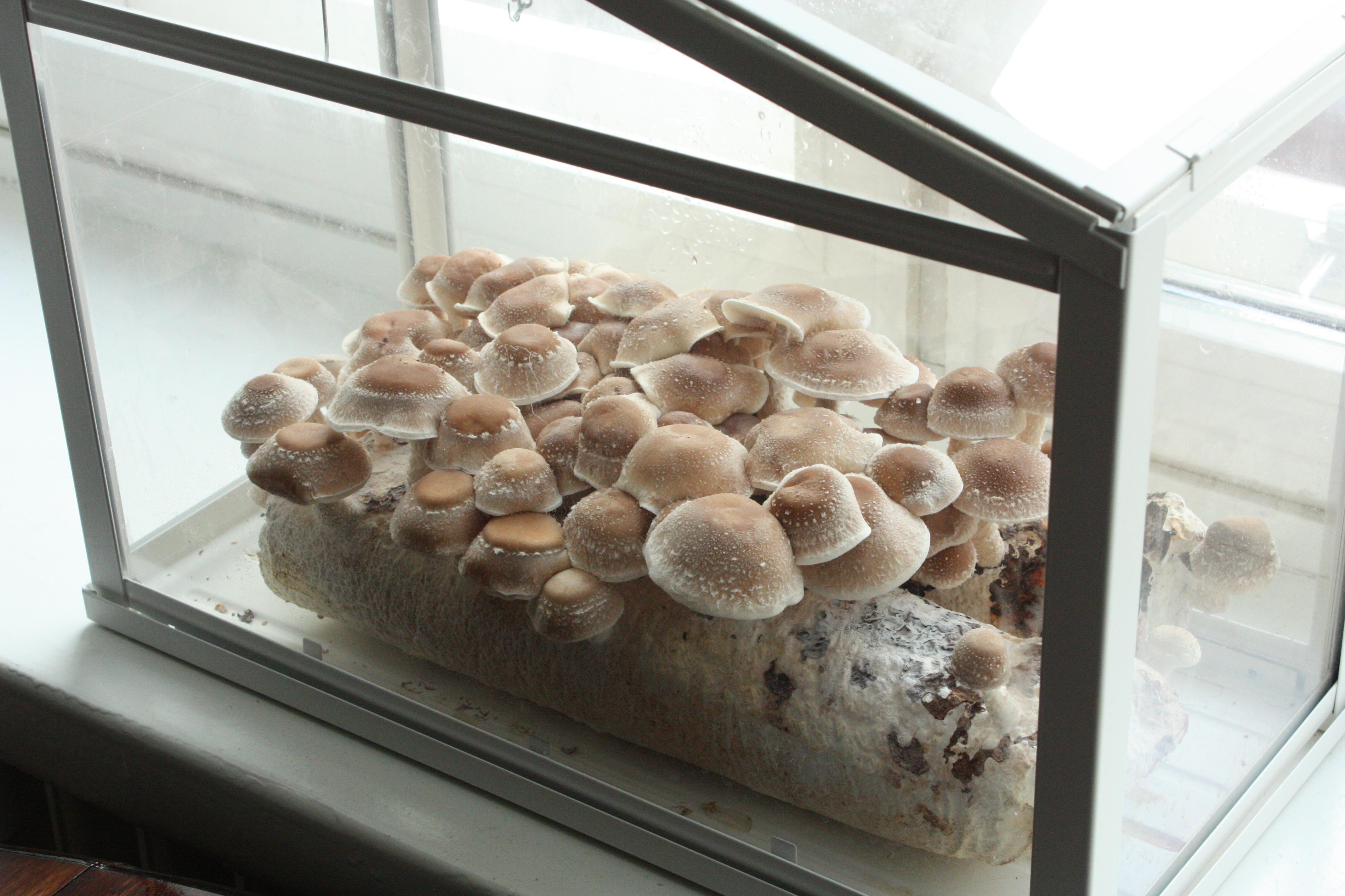 Sienet kasvavat hyvin pienoiskasvihuoneessa. Kuva Hanna Kaisa Hellsten.