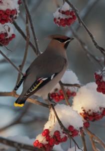 Tilhen höyhenpuku on linnustomme kauneimpia, harmaanruskeata perusväriä somistaa loistavan keltaiset ja valkoiset värikuviot.