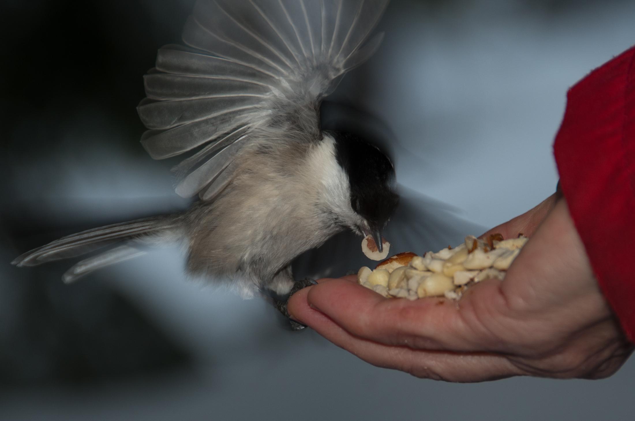 Viitatiainen, Poecile palustris. Mannisenmäki. Jyväskylä.