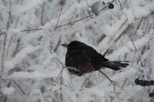 Taajamissa mustarastaista on tullut lintujen ruokintapaikoilla viihtyviä talvilintuja. Marjatalvina niitä on Suomessa tuhansia.