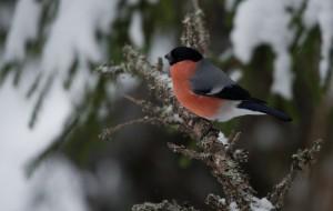 Pihlajanmarjoja syövät mielellään myös punatulkut. Niille marjat eivät kuitenkaan ole elinehto, vaan ne pärjäävät Suomen talvessa muullakin siemenravinnnolla.