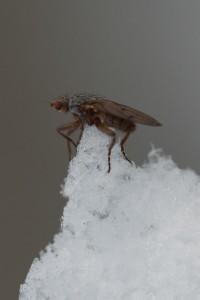 Scoliocentra nigrinervis -kärpänen on yleisin talvihyönteinen keskitalvella. Niitä voi tavata yli kymmenen asteen pakkasillakin.