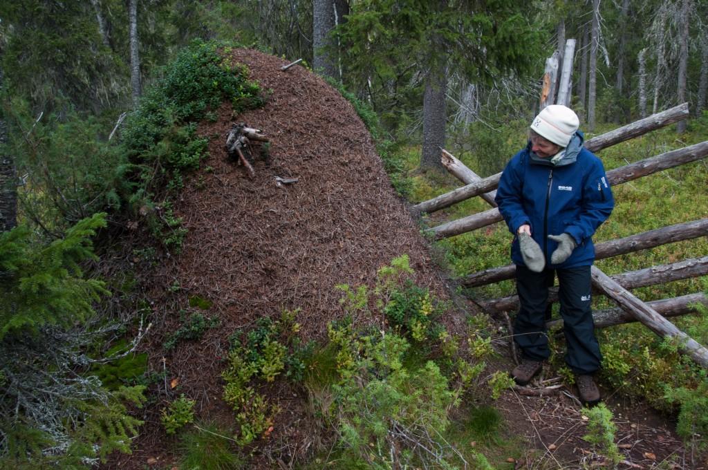 Kekomuurahaisen pesä voi melkoinen jättiläisyhteisö. Kuvan suurikokoinen kekopesä löytyy Syötteen kansallispuistosta Pudasjärveltä.