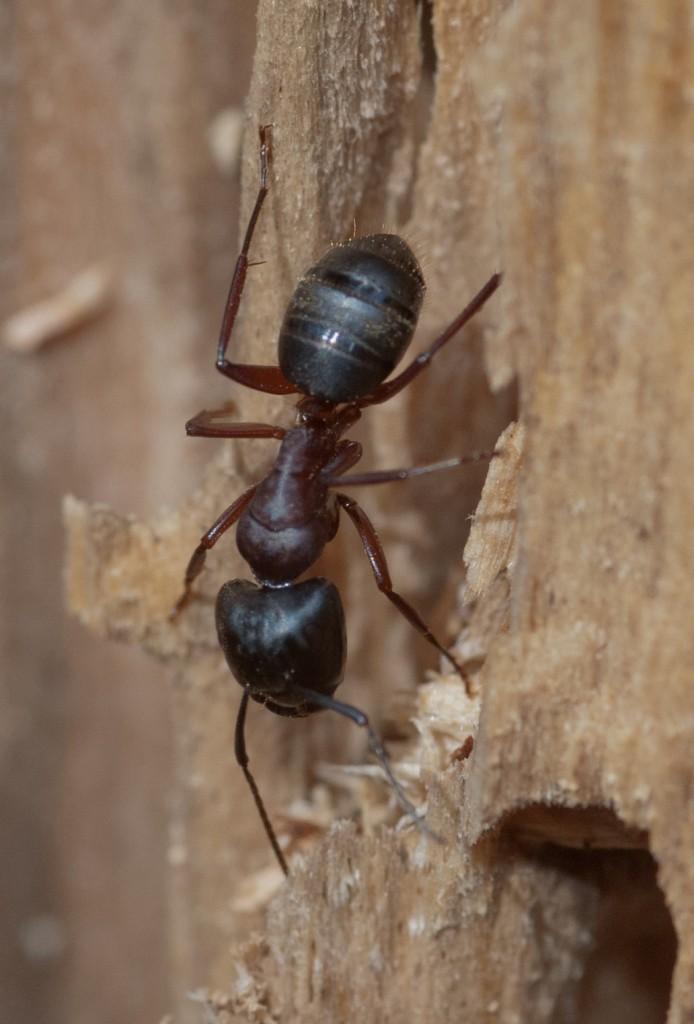 Hevosmuurahainen on suurin muurahaisemme. Se rakentaa pesänsä lahon puunrungon sisään. Joskus pesä voi löytyä myös talon puurakenteista.