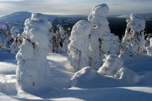 Kuva 4: Tykky voi myös tappaa puita. Metsänrajalla ankarat talviolosuhteet tekevät puiden elämisen mahdottomaksi. Kuva Pelkosenniemen Pyhätunturilta.