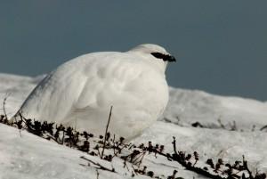Kuva 8: Kiiruna on Suomen karaistunein lintu. Jäätävästä tuulesta, lumesta, jäästä ja erittäin niukasta ravinnosta huolimatta ne elävät paljakalla kesät talvet. Kiirunat ovatkin ainoita lintuja joita tykkyjä ihaileva ihminen voi tavata tuntureilla talvisin.