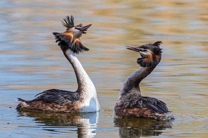Kuvassa silkkiuikkuparin soidinta, jossa pari on vastakkain ja heiluttelee päätään.