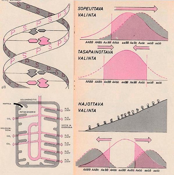 """Kuvassa yo-kokeen kuvallisia kysymyksiä. Vasemmalla kaavakuva dnasta ja mitokondriosta, oikealla kaaviot """"tasapainottavasta valinnasta"""" ja """"hajottavasta valinnasta""""."""